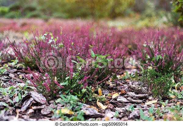 Etwas Neues genug Pink flower of heather plant in the garden. calluna vulgaris #CI_21