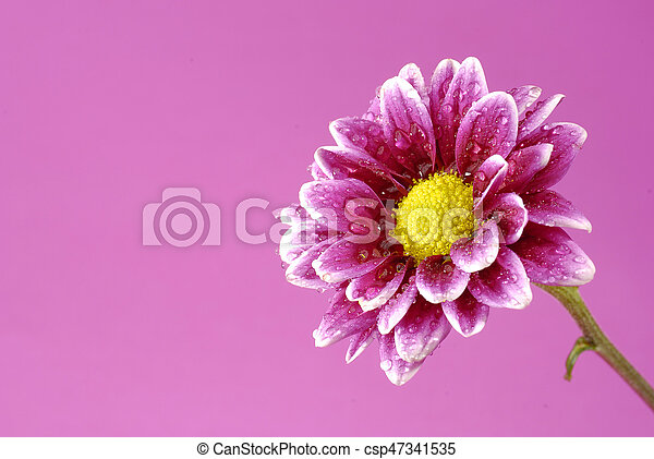 Pink Flower With Colored Background Yellow Center Pink Flower With