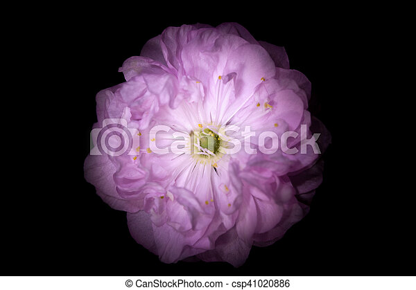 Pink flower with round petals like petunia isolated on black pink flower with round petals like petunia isolated on black background csp41020886 mightylinksfo