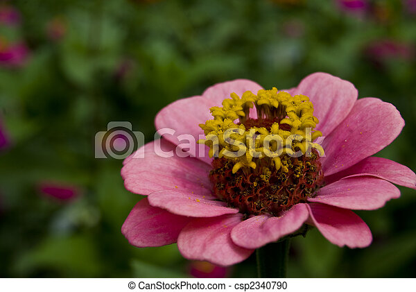 Pink flower with yellow center small pink flower with bright yellow pink flower with yellow center csp2340790 mightylinksfo