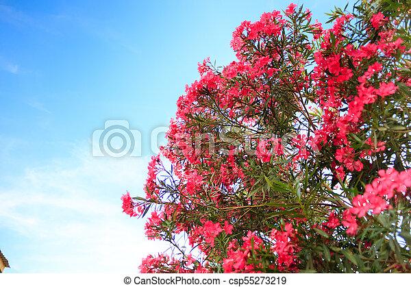 Pink flowering bush with oleander flowers on sky background stock pink flowering bush with oleander flowers csp55273219 mightylinksfo