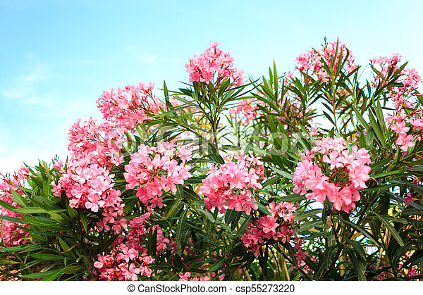 Pink flowering bush with oleander flowers on sky background pink flowering bush with oleander flowers csp55273220 mightylinksfo