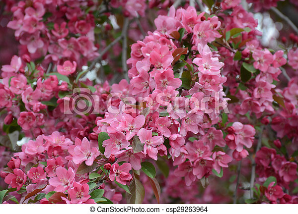 Pink Flowering Crabapple Lush Pink Flowering Crabapple Blossoms And