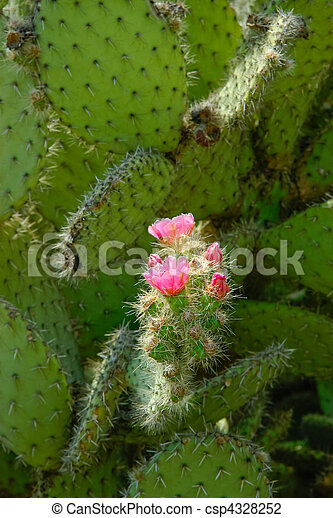 Pink flowers and green buds on the cactus leaf two pink bright pink flowers and green buds on the cactus leaf csp4328252 mightylinksfo