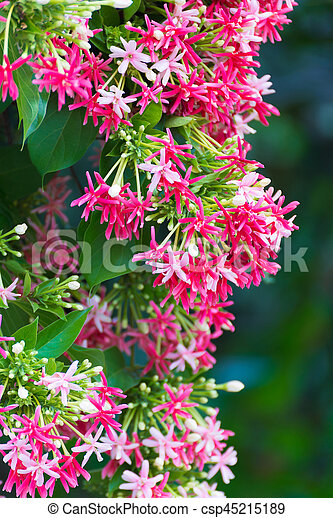 Pink flowers blossom quisqualis indica flower plant chinese pink flowers blossom quisqualis indica flower plant chinese honeysuckle rangoon creeper or combretum mightylinksfo