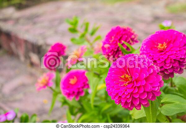 Pink flowers in garden. - csp24339364