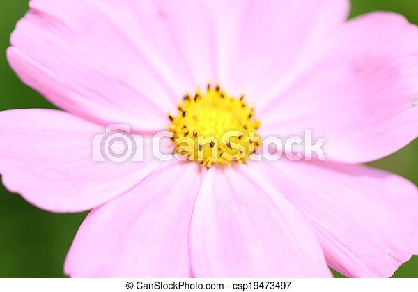 Pink flowers in garden. - csp19473497