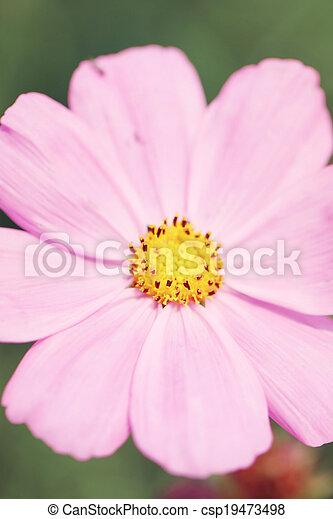 Pink flowers in garden. - csp19473498