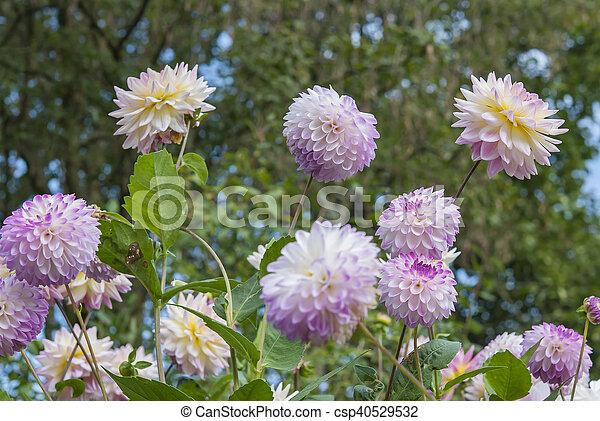 Pink flowers in garden - csp40529532