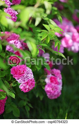 pink flowers in green park garden, nature background - csp40764323