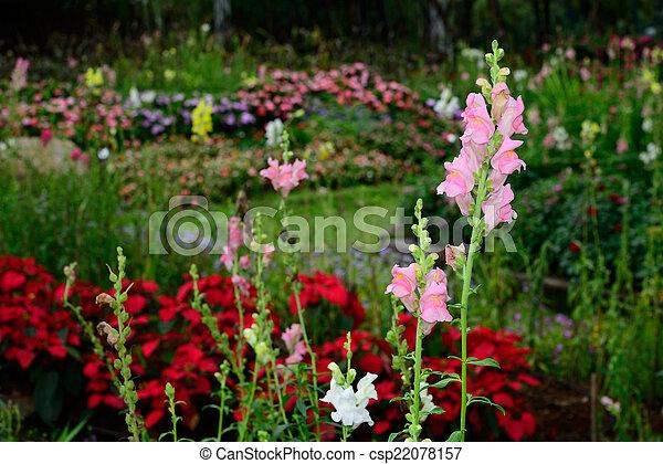 pink flowers in the garden - csp22078157