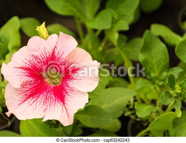 Pink flowers in the garden - csp63242243