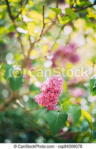 Pink Flowers Lilac In Garden - csp84306078