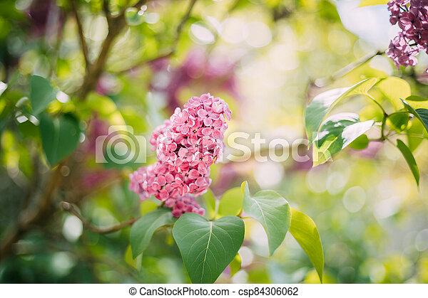 Pink Flowers Lilac In Garden - csp84306062