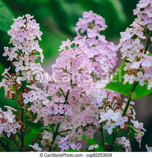 Pink Flowers Lilac In Garden - csp82253659