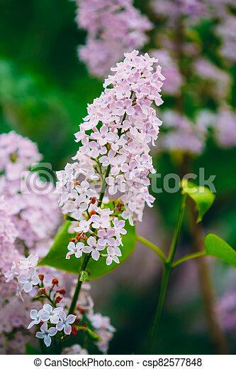 Pink Flowers Lilac In Garden - csp82577848