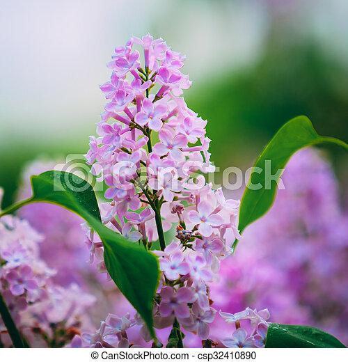 Pink Flowers Lilac In Garden - csp32410890
