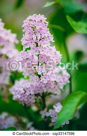 Pink Flowers Lilac In Garden - csp33147596