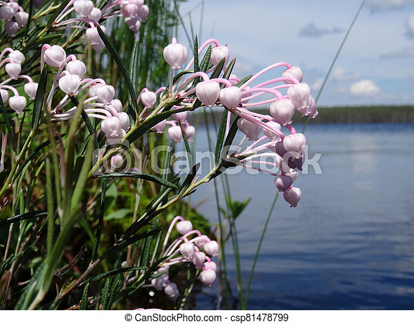 pink flowers of a forest berry over the surface of the lake - csp81478799