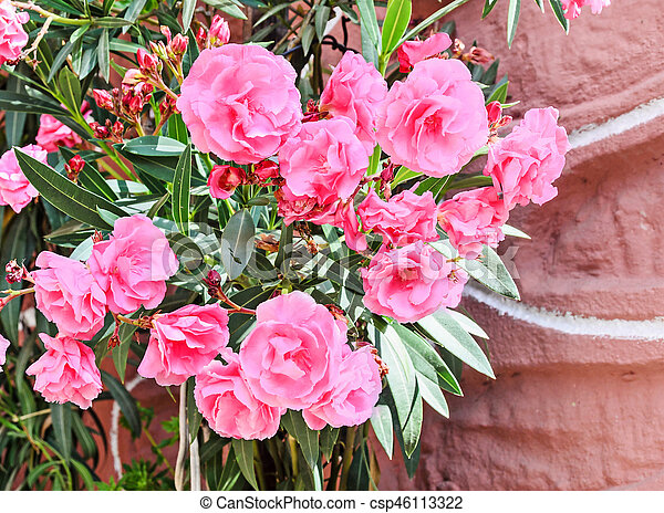 Pink flowers of nerium oleander evergreen shrub family apocynaceae mightylinksfo