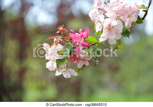 Pink flowers on a crabapple tree branch tree branch apple stock pink flowers on a crabapple tree branch csp36645510 mightylinksfo
