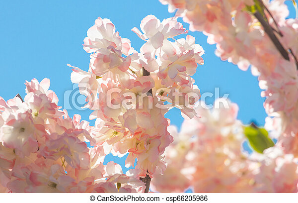 Pink flowers on a tree against the sky - csp66205986