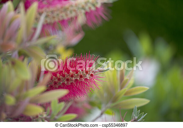 Pink fluffy flowers tree with pink fluffy flowers in garden outdoors pink fluffy flowers csp55346897 mightylinksfo