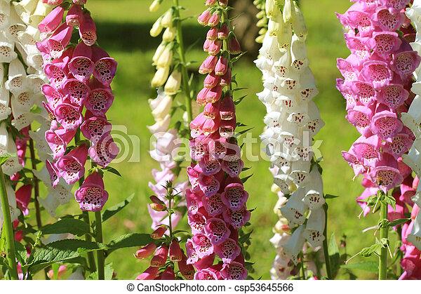 Pink Foxglove Flowers Or Digitalis In A Garden In Summer