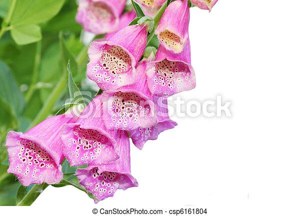 Pink foxgloves pink foxglove flower isolated on white background pink foxgloves csp6161804 mightylinksfo