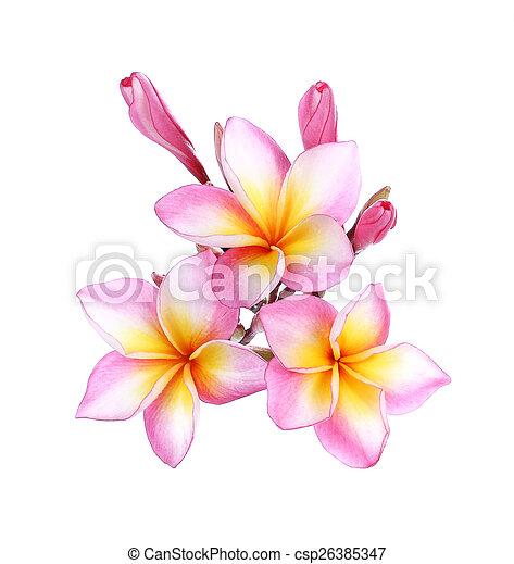 Pink frangipani plumeria flower on white pink frangipani stock pink frangipani plumeria flower on white csp26385347 mightylinksfo Choice Image