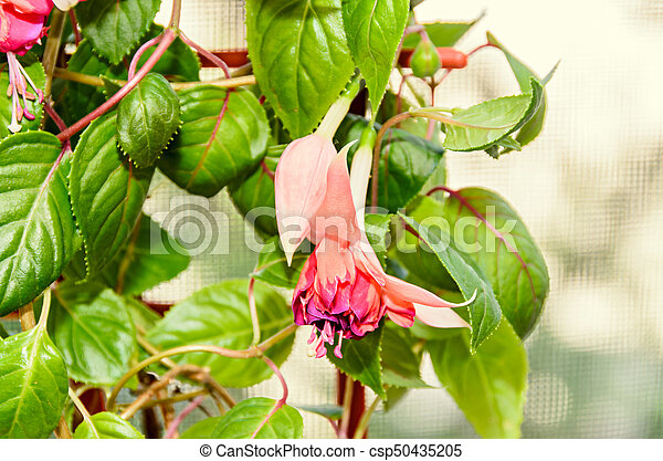 Pink fuchsia flowers green leaves shrub close up blur bokeh pink fuchsia flowers green leaves shrub close up blur bokeh background mightylinksfo
