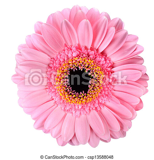 Pink gerbera marigold flower isolated on white pink gerbera flower pink gerbera marigold flower isolated on white csp13588048 mightylinksfo