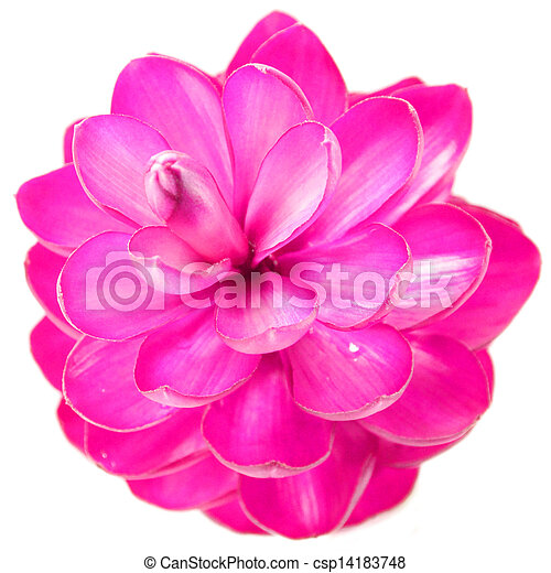 Pink ginger flower pink ginger flower csp14183748 mightylinksfo