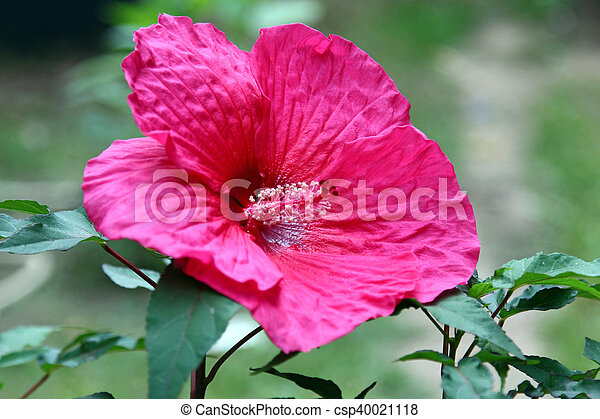 Pink Hibiscus flower - csp40021118