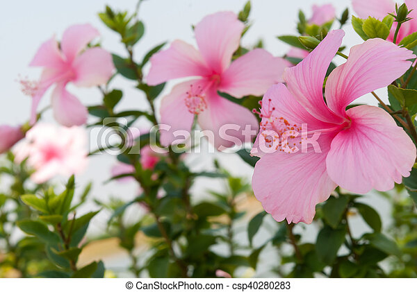 Close Up Pink Hibiscus Flower On Tree
