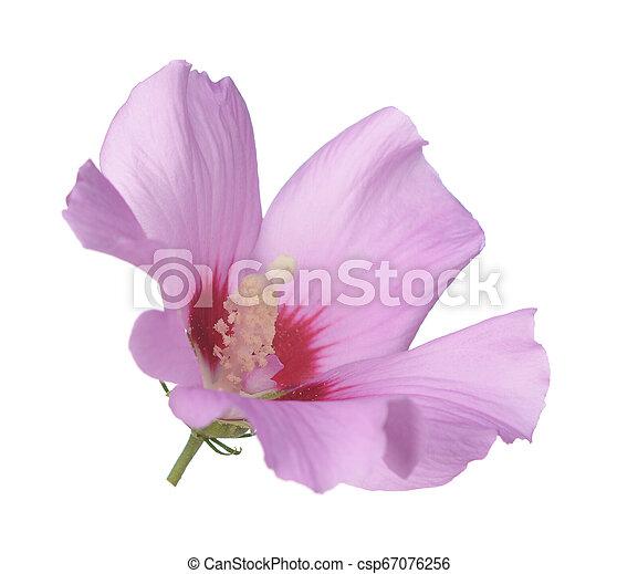 pink hibiscus - csp67076256