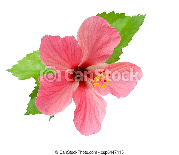 Pink Hibiscus with foliage isolated - csp6447415