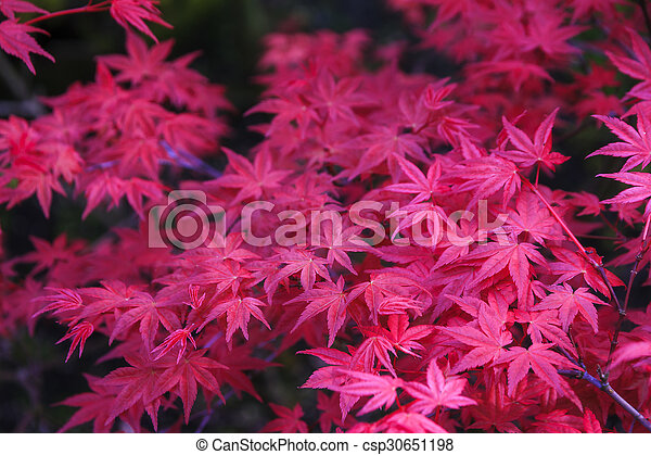 Pink Japanese Maple