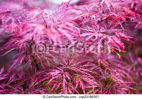 Pink Leaves Of The Japanese Maple Acer Palmatum