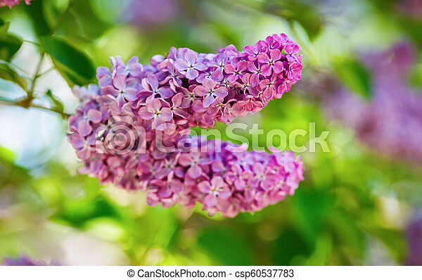 Pink lilac flowers - csp60537783