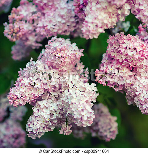 Pink lilac flowers - csp82941664