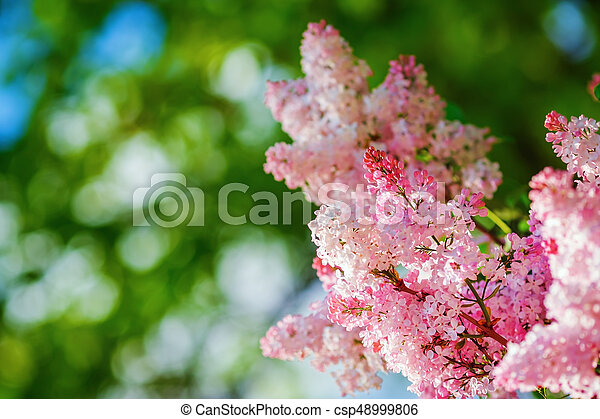 Pink lilac flowers - csp48999806