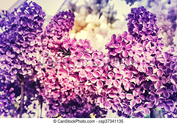 Pink lilac flowers - csp37341135