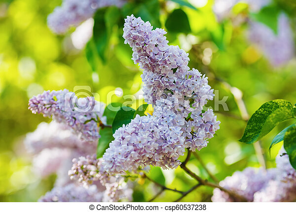 Pink lilac flowers - csp60537238