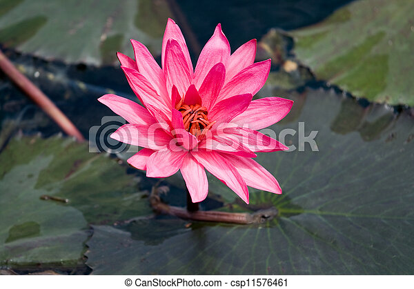 Pink lily Nymphaea on the water surface  - csp11576461