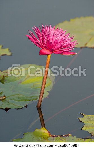 Pink Lily - csp8640987