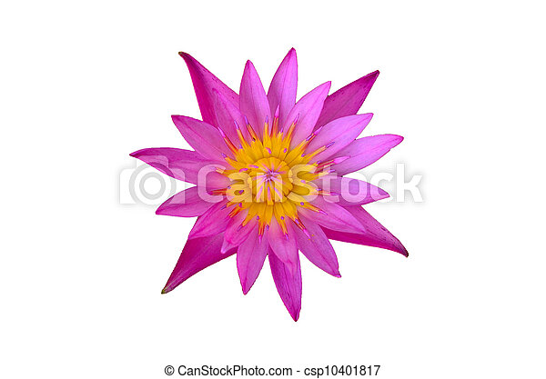 pink lotus flower isolated - csp10401817