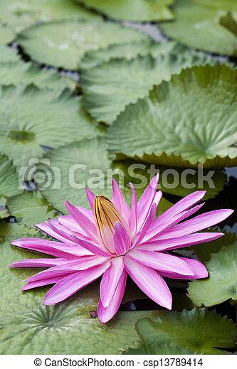 Pink Lotus Flower - csp13789414