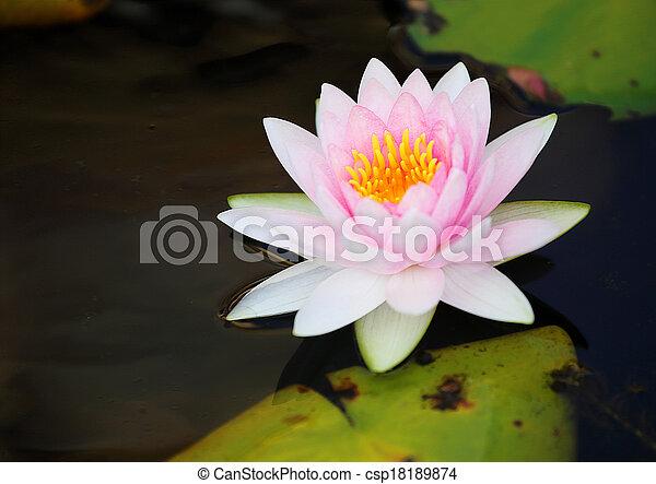 PInk Lotus Flower - csp18189874