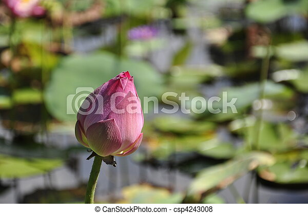 Pink lotus flower - csp4243008